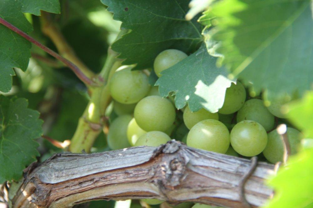 «Массандра» обучает юных «артековцев» основам виноградарства
