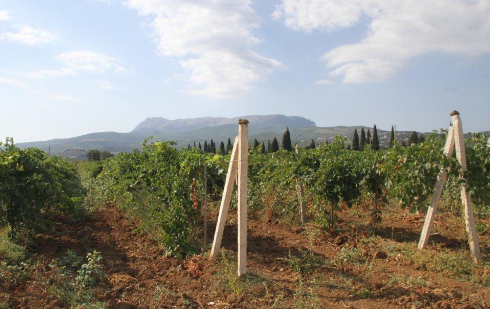 Отдыхающие соревновались в уборке массандровского винограда