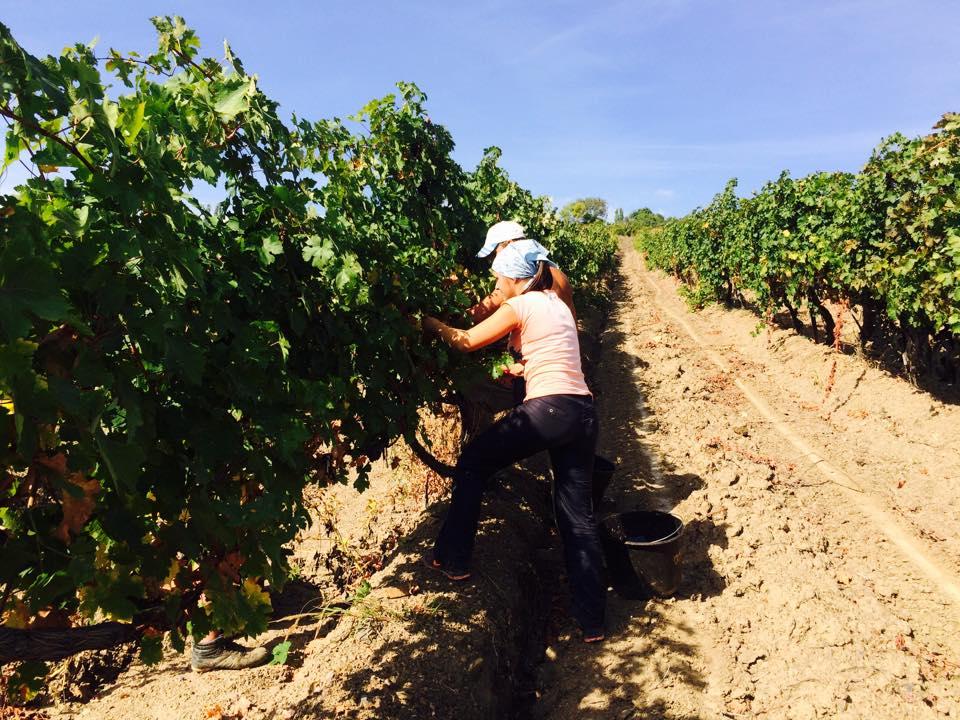 Вместо украинцев массандровские виноградники теперь убирают сибиряки