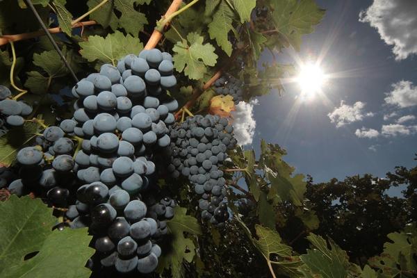 В этом году «Массандра» заложит около 150 гектаров молодых виноградников