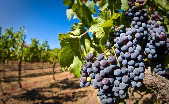 Виноградари и виноделы Крыма создали СРО