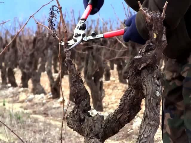 Праздник виноградной лозы в Массандре