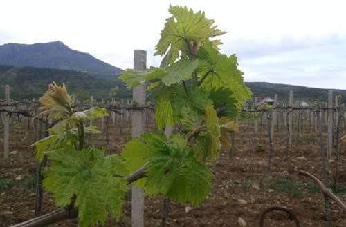 В «Массандре» началась работа по возрождению «аборигенных» виноградников