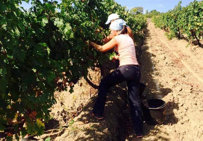 В «Массандре» стартовала уборка винограда