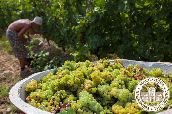 Филиалы «Массандры» начинают реализацию свежего винограда