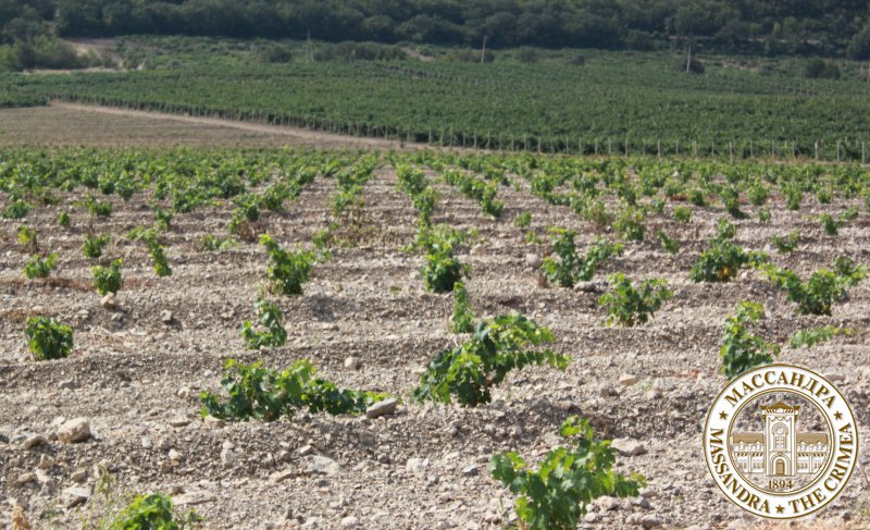 «Массандра» восстанавливает работу с европейскими виноградными питомниками