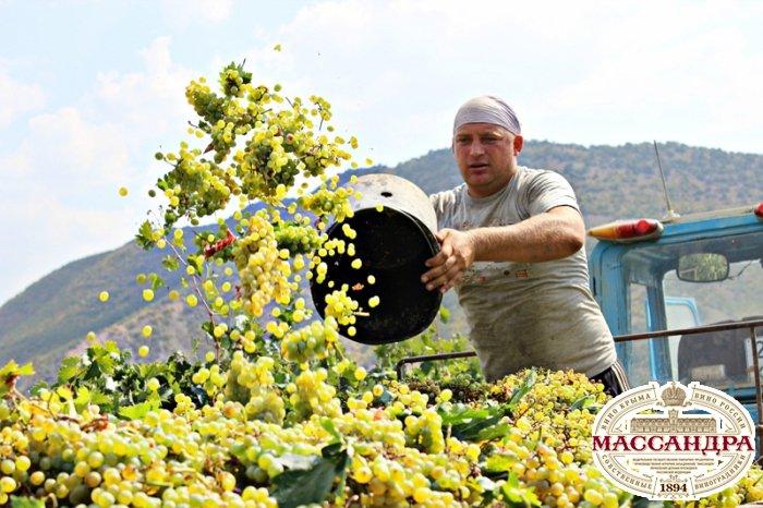 «Массандра» с привкусом солнца. Жаркий сезон виноделия в объективе «5 канала»