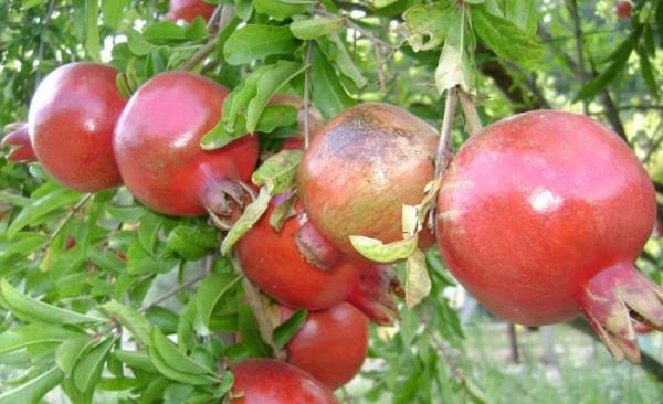 «Массандра» возрождает эксперимент по выращиванию экзотических фруктов