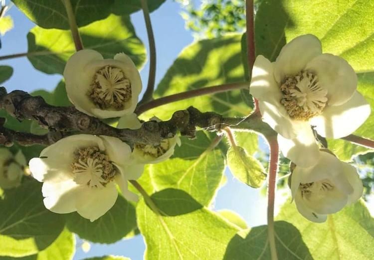 На экзотическом участке «Массандры» пик цветения киви
