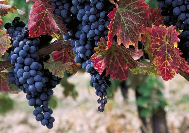 График созревания винограда столовых сортов. Контакты по вопросу реализации