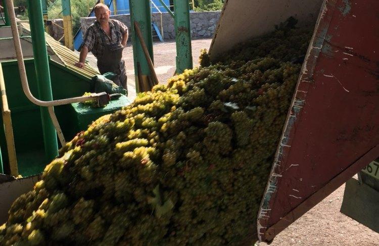 В «Массандре» открыт сезон виноделия