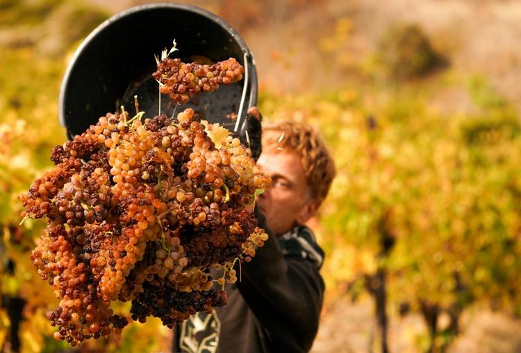 Итоги уборочной: в «Массандре» собрали на 14% больше винограда, чем в прошлом году