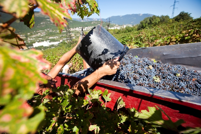 Филиалу «Малореченское» требуются виноградари