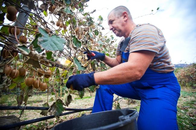 На экзотическом участке «Массандры» стартовала уборка урожая