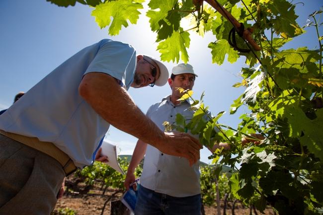 В «Массандре» выбрали лучшего виноградаря