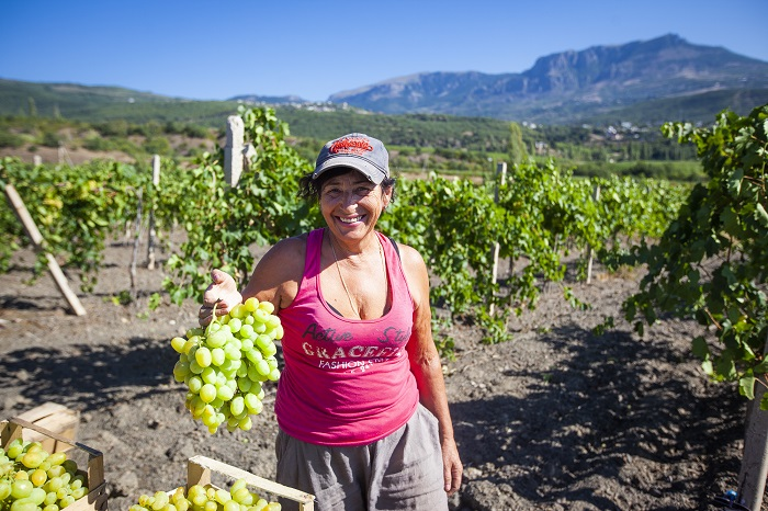 «Массандра» начинает реализацию винограда столовых сортов (АДРЕСА ТОРГОВЫХ ТОЧЕК)